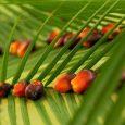 Olejek palmowy